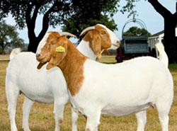 Powell Holman | Texas Boer Goat Breeders | Wether Goats